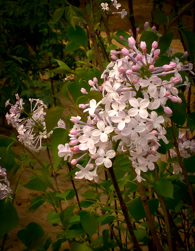 紫丁香是典型的北方植物,不过近年来南方也偶有种植.
